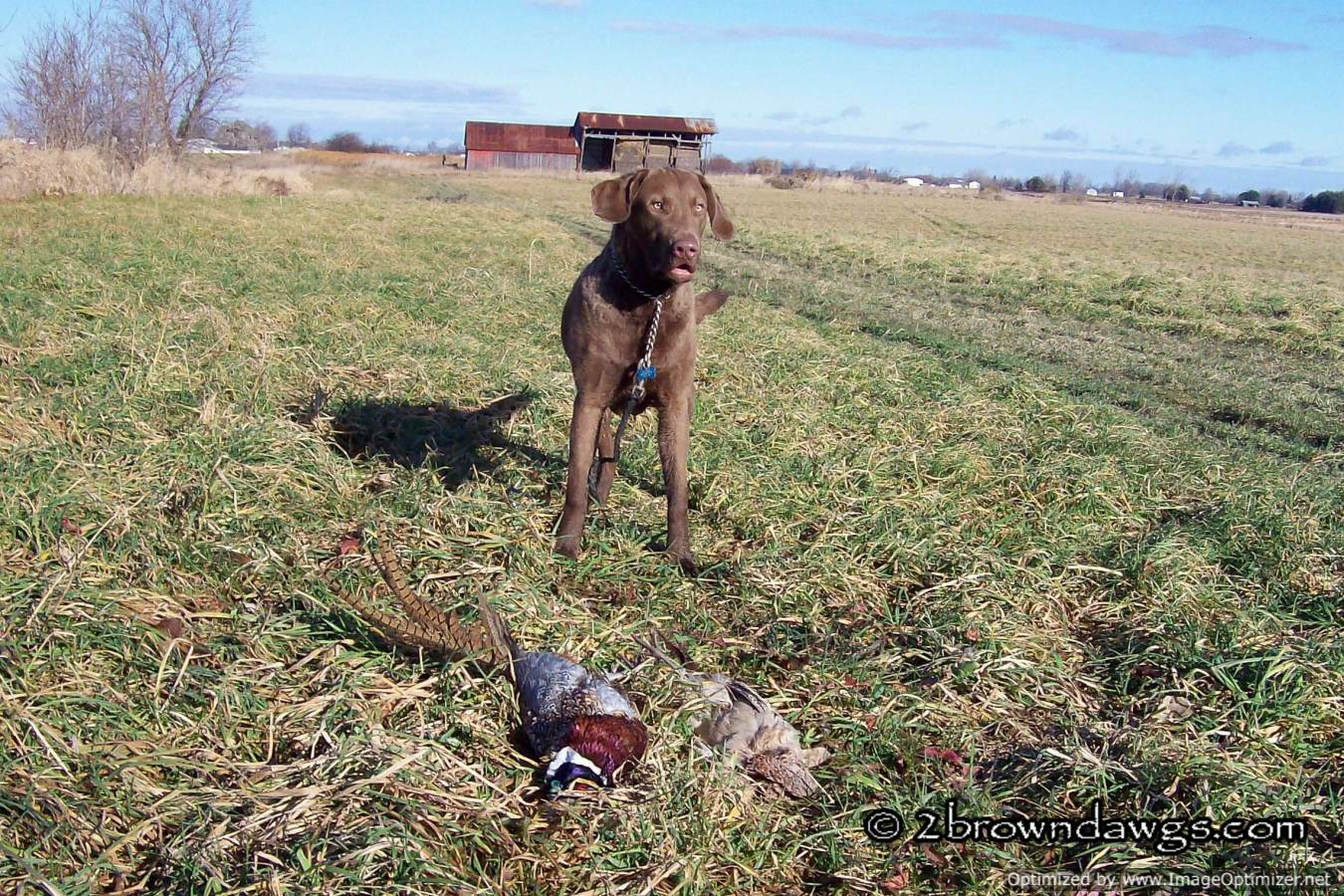 Thunder On A Pheasant Hunt At 9 Months Old