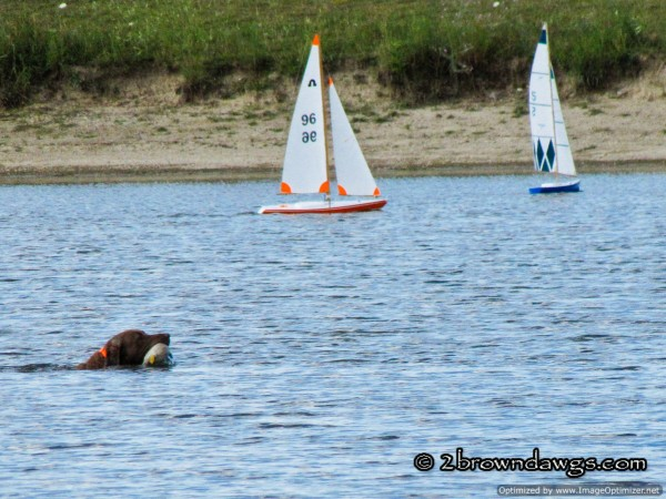 chesapeake bay retriever distractions