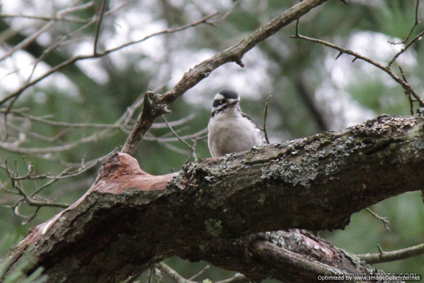 I Like This Picture Of A Downy Woodpecker Perched On A Tree