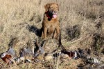 Chesapeake Bay Retriever Pheasant Hunt