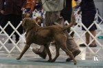 Chesapeake Bay Retriever Dog Show