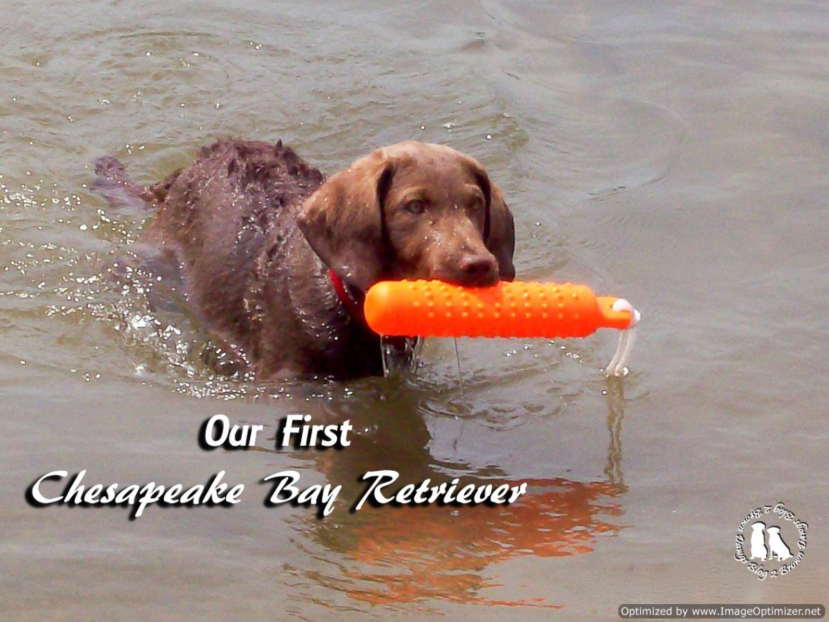 First Chesapeake Bay Retriever