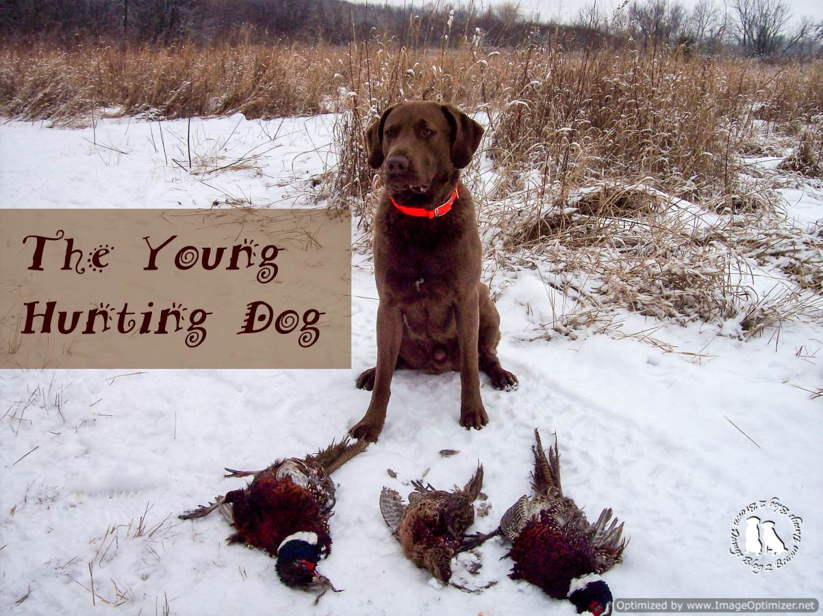 Young Hunting Dog