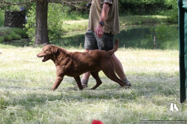 Chesapeake Bay Retriever Heel