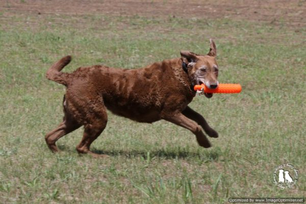 Chesapeake Bay Retriever Retrieving Bumpers