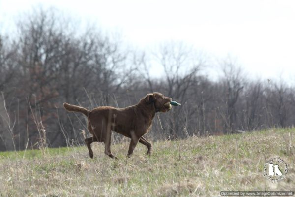 chesapeake bay retriver