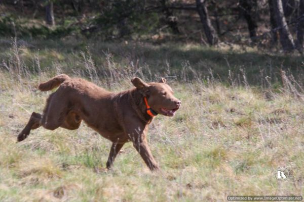 chesapeake bay retriever