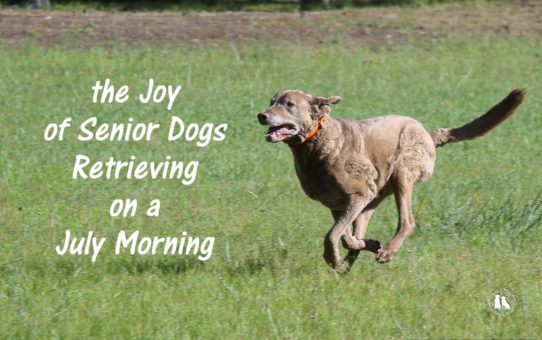 The Joy Of Senior Dogs Retrieving On A July Morning
