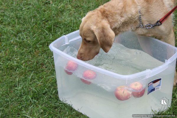chesapeake bay retriever apple bobbing