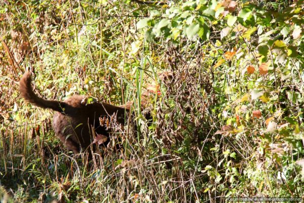 chesapeake bay retriever grouse hunting